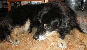 A black and brown dog sleeps on a wood floor.