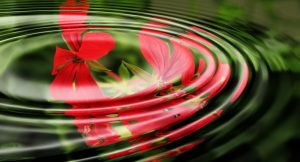 Red flower reflected in rippling water