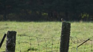 A bluebird sits on a fence post in a field