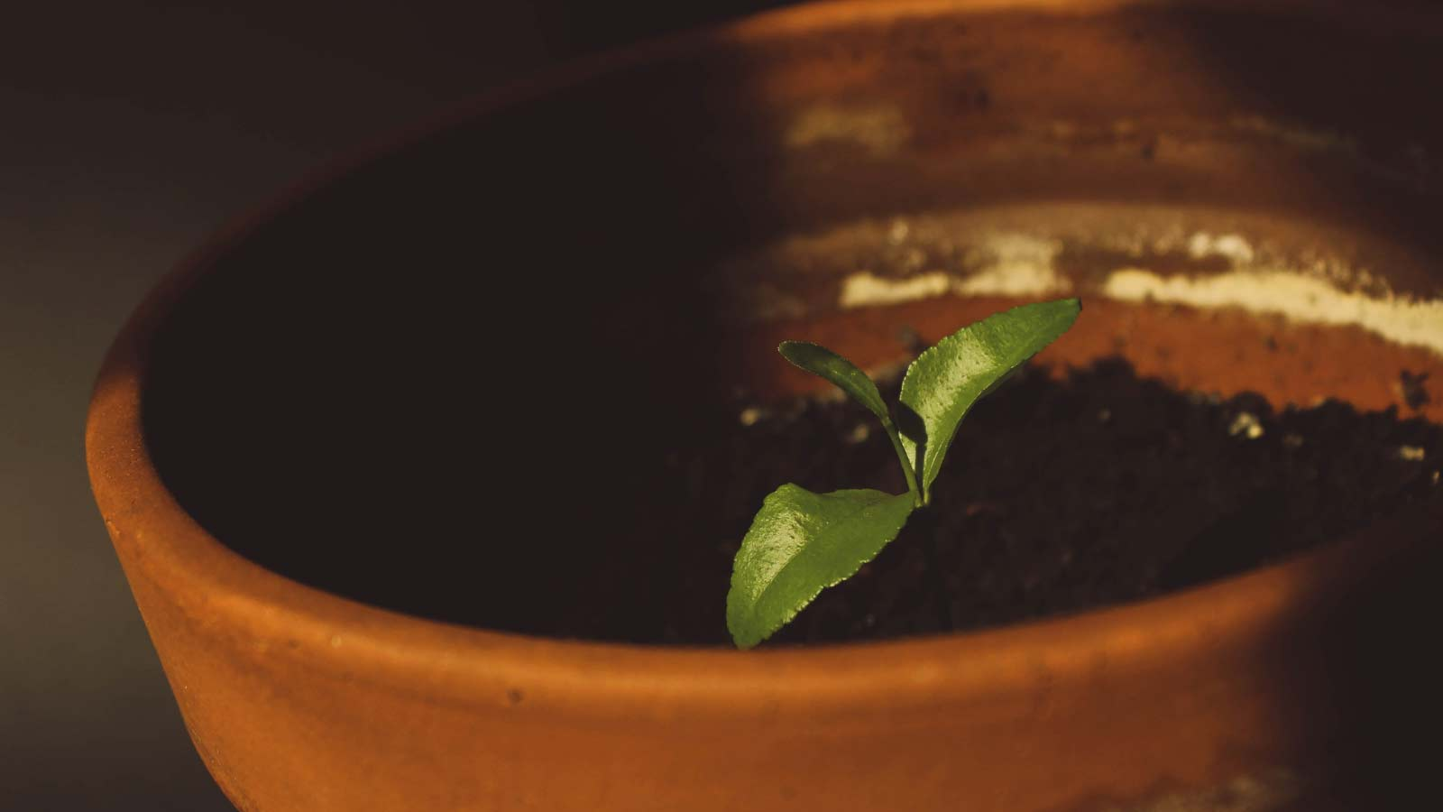 Three green leaves sprout from a pot