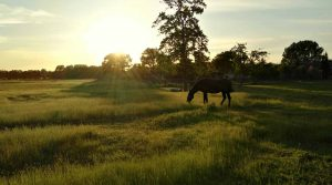 dark brown horse eating grass